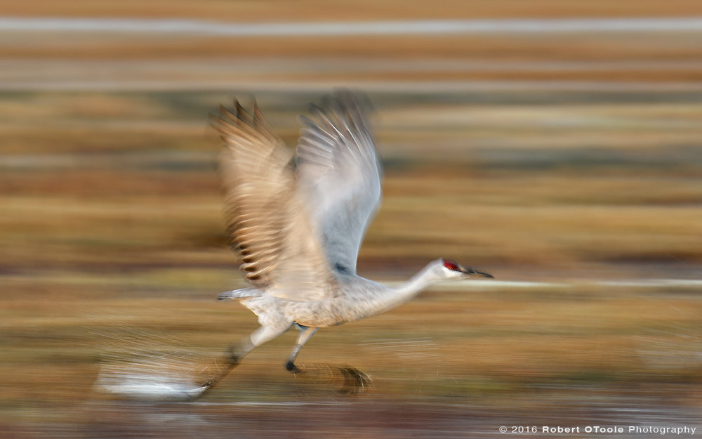 Sandhill-crane-running-take-off-with-fall-colors-Bosque-New-Mexico-2016-Robert-OToole-Photography