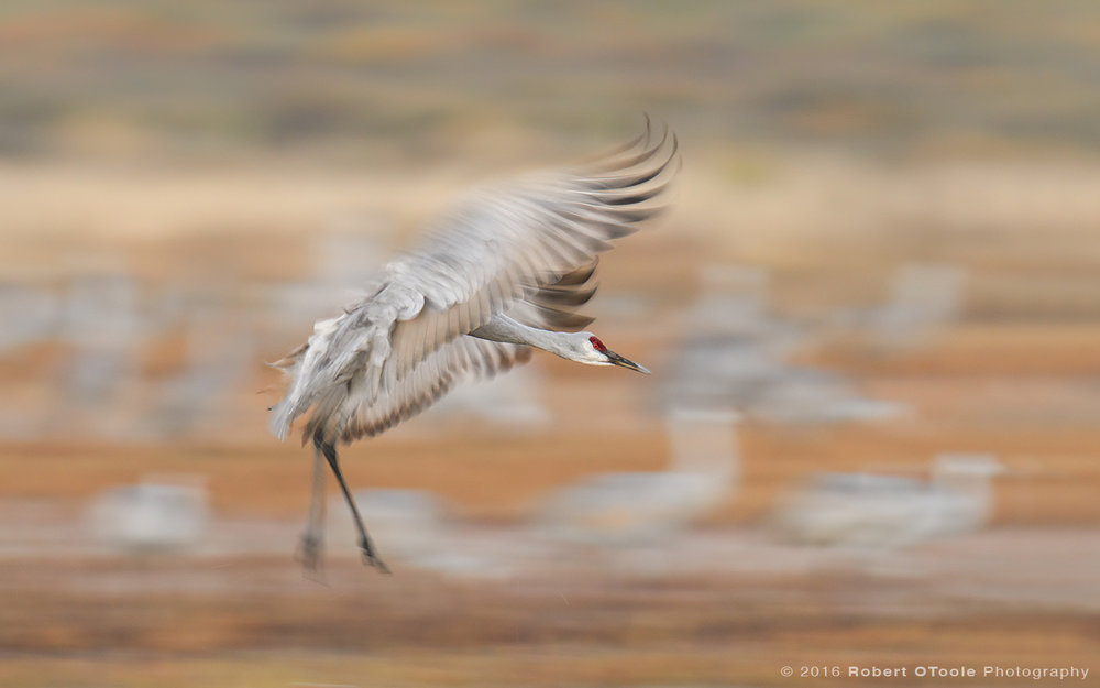 Sandill-crane-one-fortieth-second-landing-Bosque-New-Mexico-2016-Robert-OToole-Photography