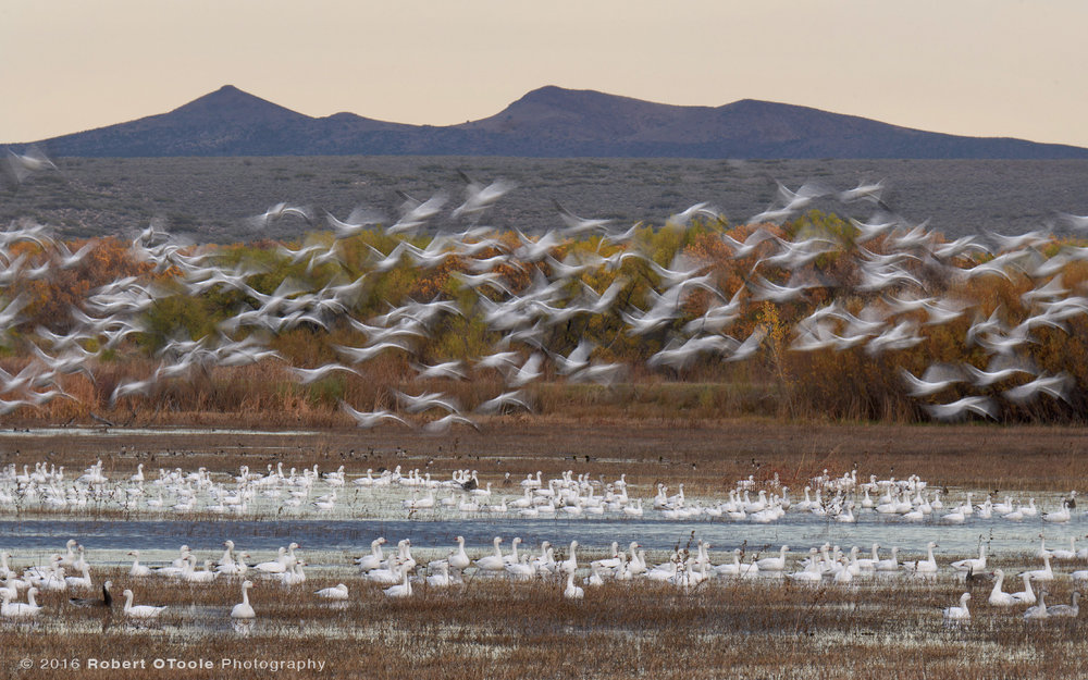 Snow Geese Taking Off at 1/15th s