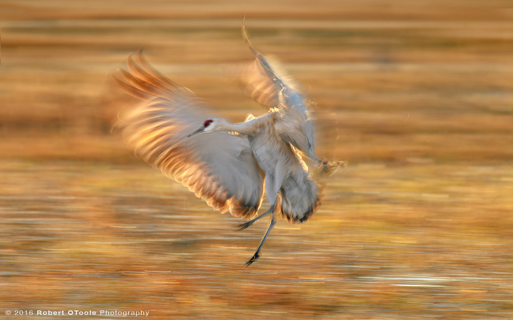 Sandhill Crane Backlit Touching down at 1/25s