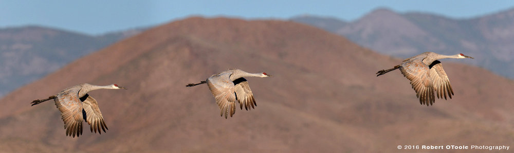 Group of Three Sandhill Cranes Flying against Chupadera Mountain