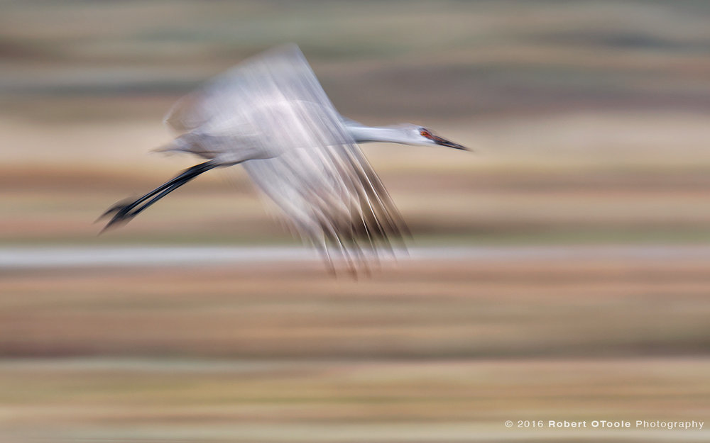 Sandhill-crane-juvenile-one-twenty-fifth-blur-fall-colors-Bosque-New-Mexico-2016-Robert-OToole-Photography