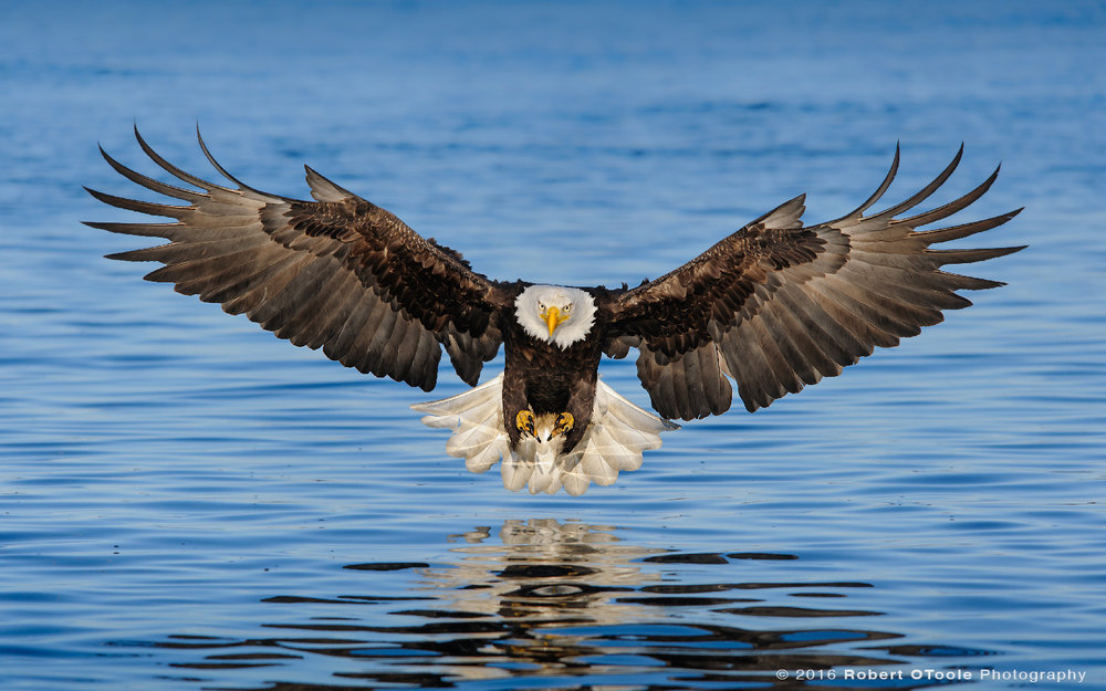 Eagle-attack-head-on-2012-Robert-OToole-Photography