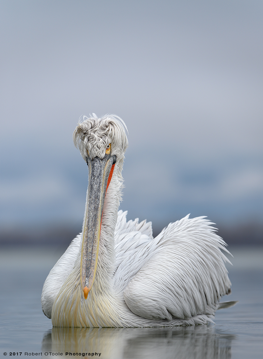 Dalmatian-Pelican-Greece-2538-2017-Robert-OToole-Photography.jpg