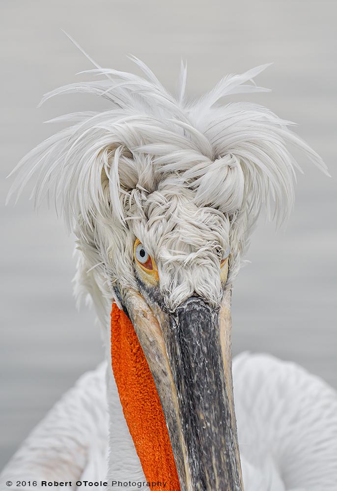 Dalmatian-Pelican-Greece-bad-hair-2017-Robert-OToole-Photography