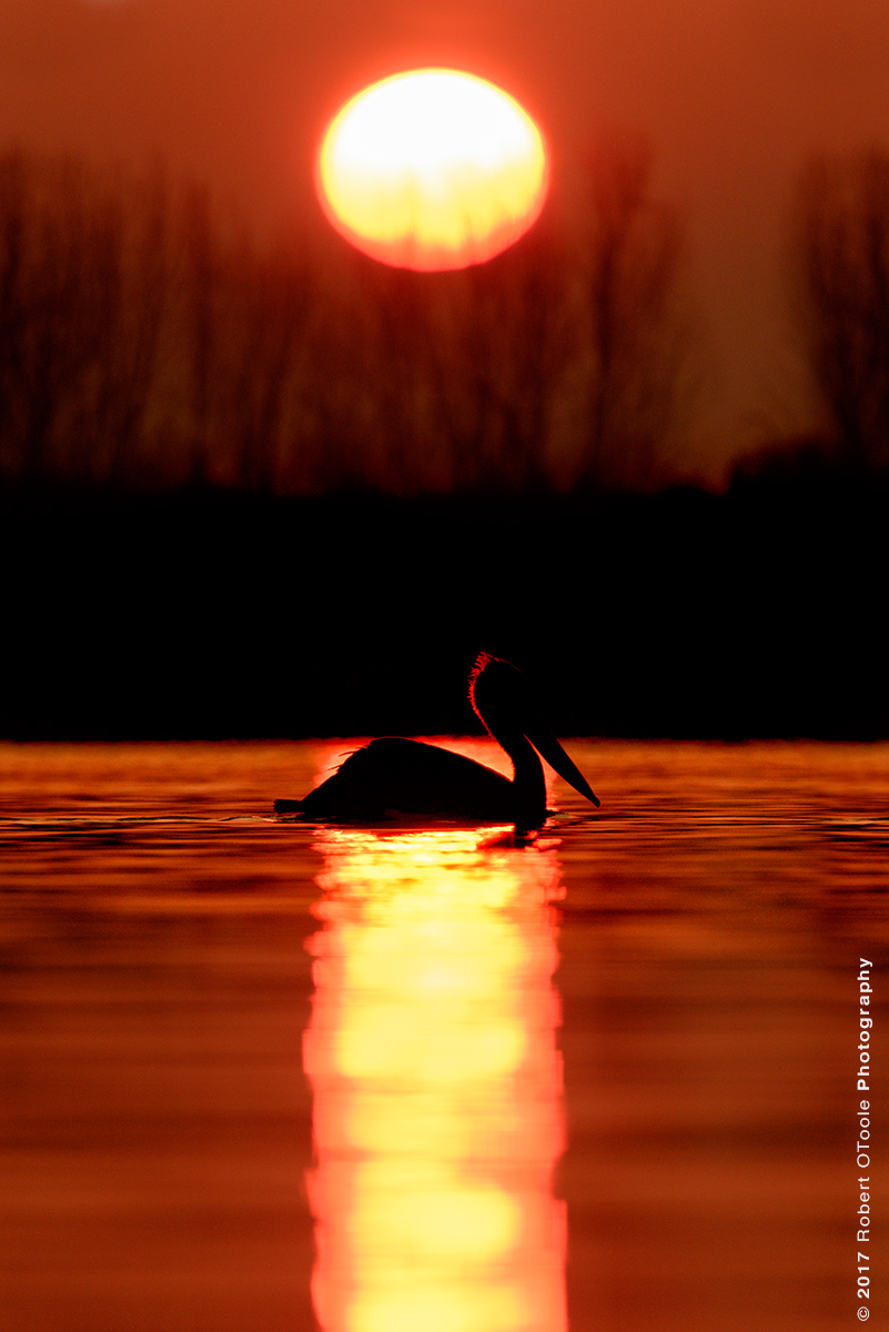 Dalmatian Pelican Silhouette at Sunrise