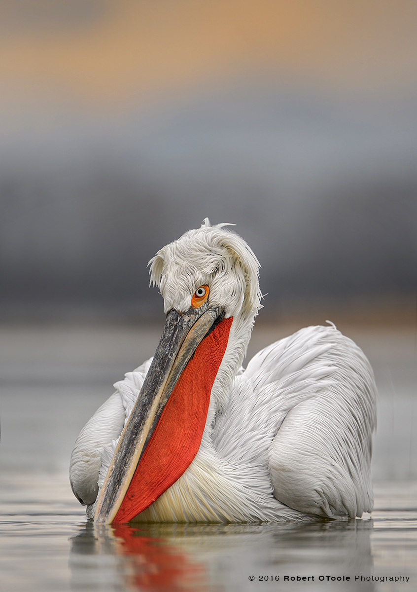 Dalmatian Pelican in Late Afternoon