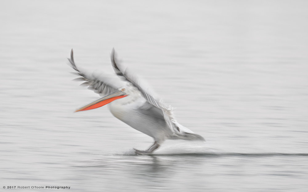 Dalmatian Pelican  Landing on Water at .....