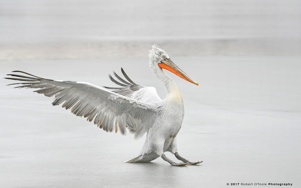 Dalmatian Pelican Skidding on Ice
