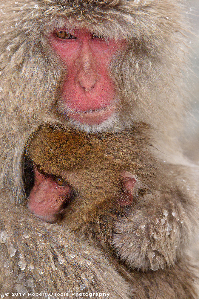 Snow Monkeys Trying to Stay Warm