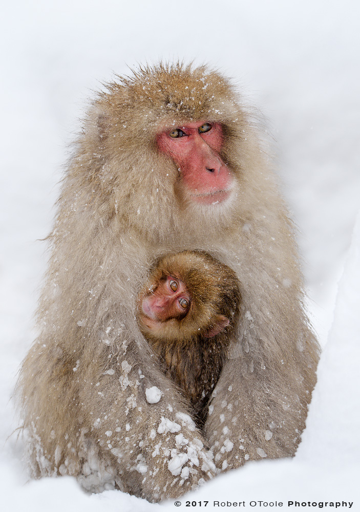 Young Snow Monkey Making Eye Contact