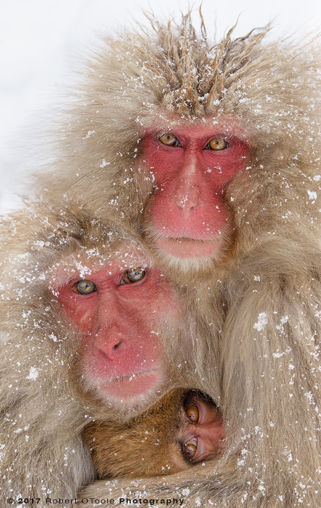 Three Snow Monkeys Cuddling in Snow