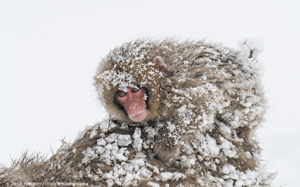 Infant Snow Monkey Riding Bareback After a Blizzard