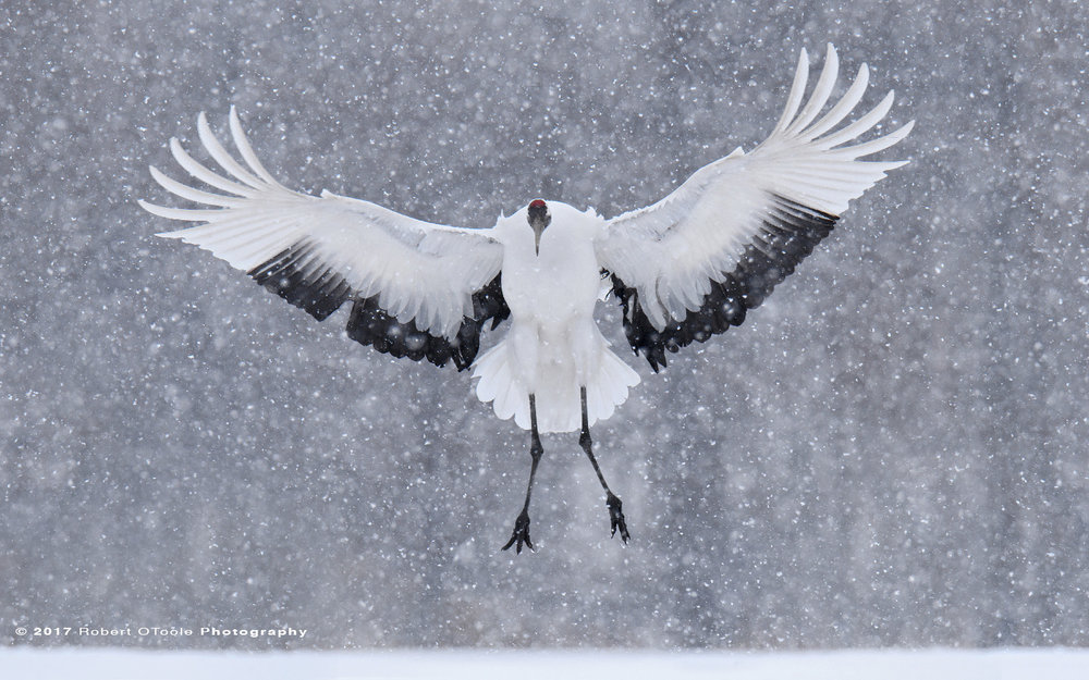 Japanese Red-Crowned Crane Landing in a Snow Storm