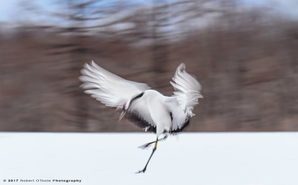 Japanese Red-Crowned Crane Landing at 1/20th S