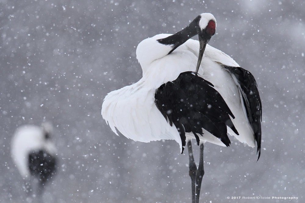 Japanese Red-Crowned Crane Preening in Falling Snow