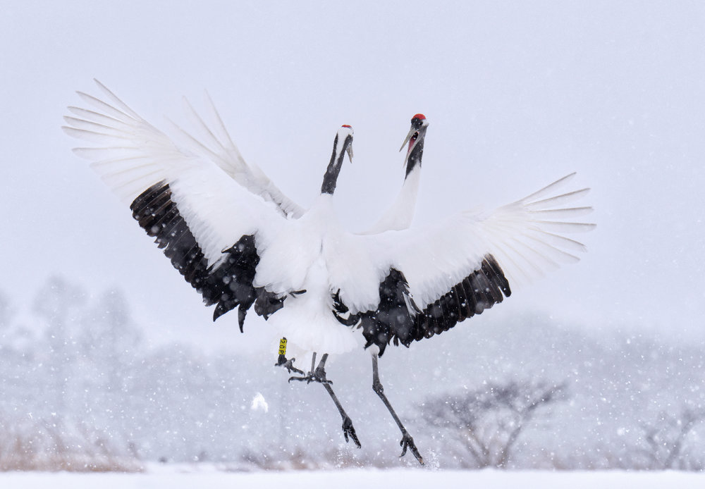 Japanese Red-Crowned Cranes Display
