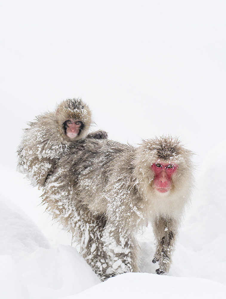Infant Snow monkey Riding Adult After Blizzard