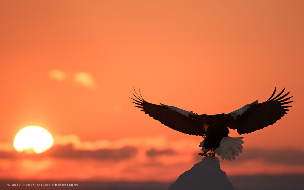 Stellers Sea Eagle Landing on Pack Ice at Sunrise