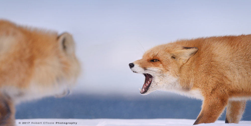 Hokkaido Fox Confrontation on the Beach