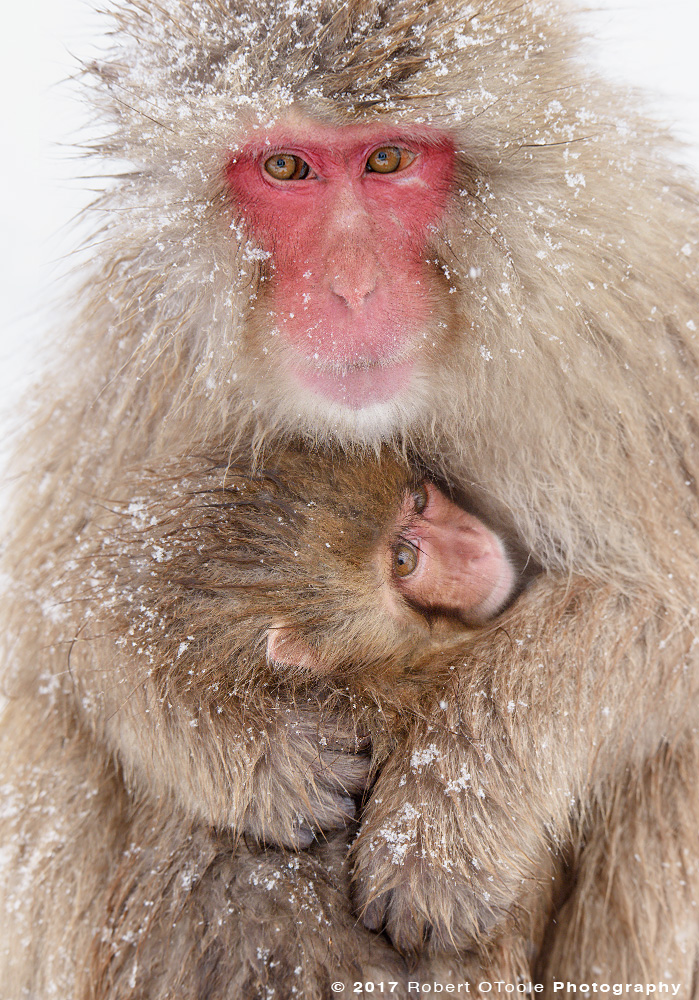 Snow Monkey Embrace to Keep Warm After Blizzard