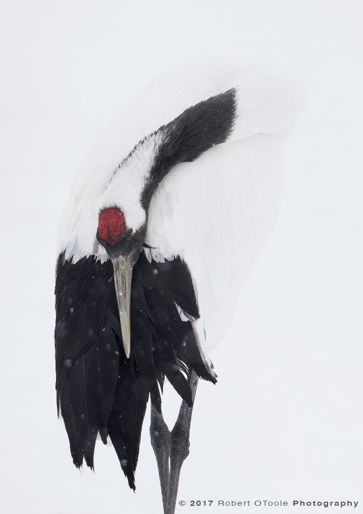 Japanese red-crowned crane resting in a snow flurry. Tsurui-Ito Tancho Sanctuary Japan. Sigma 150-600 S at 500mm, Nikon D810, 1/1250s, f/8, manual mode, tripod.