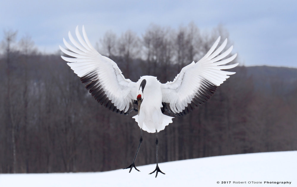 Japanese Red-Crowned Crane About to Touch Down