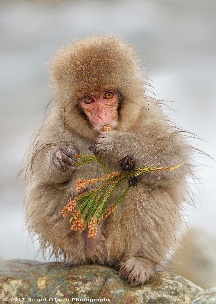 Young Snow Monkey Snacking on Spruce Buds