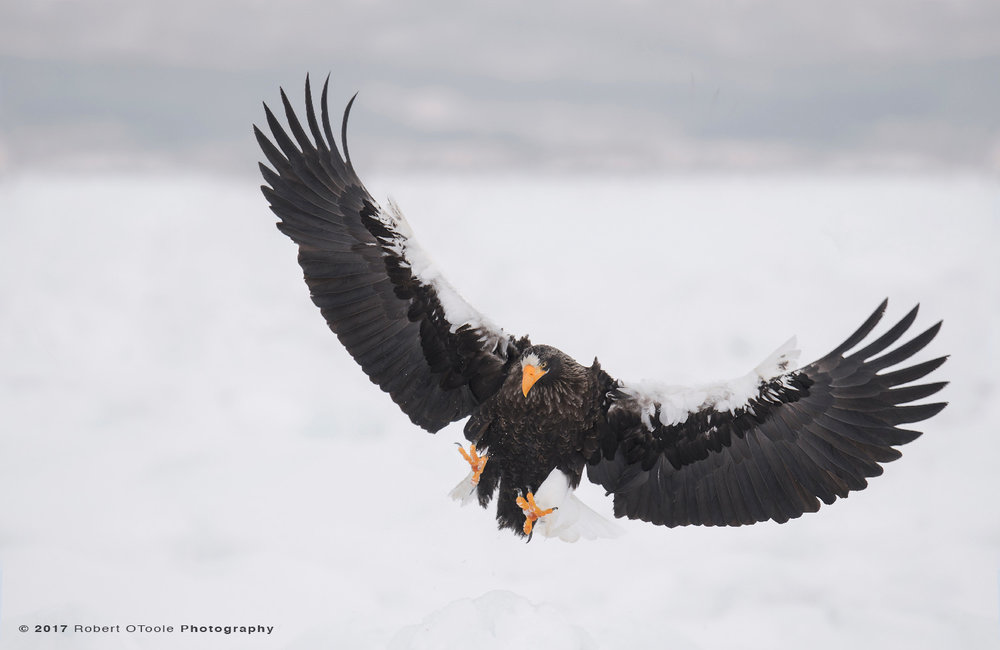 Stellers Sea Eagle Flared Landing on Pack Ice