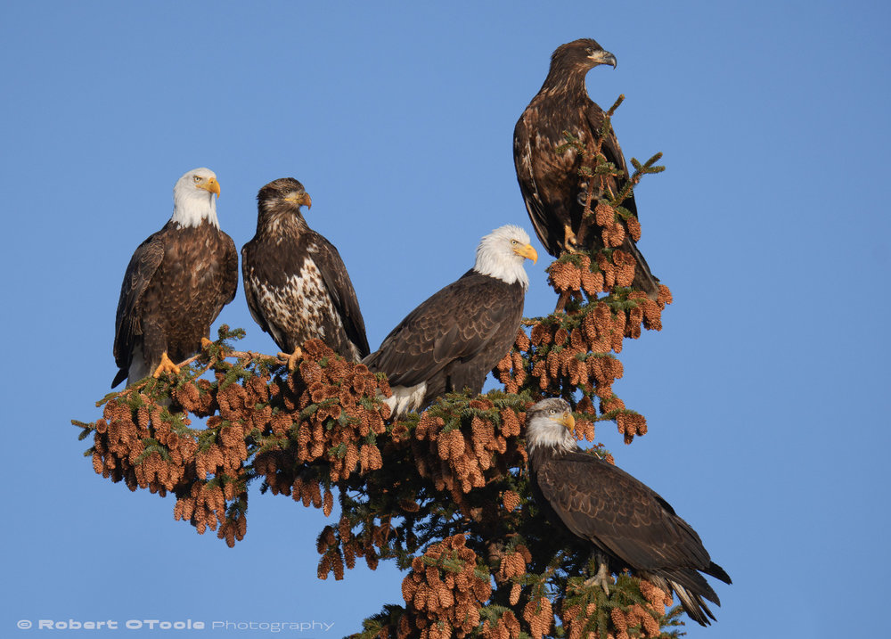 Eagles hanging out surrounded by spruce cones. L-R, adult, 2.5 year old, adult, first year bird, and the bottom, a 3 year old. Sigma 150-600 S at 360mm, Nikon D500, 1/2000s, f/6, ISO 400, manual mode, tripod.