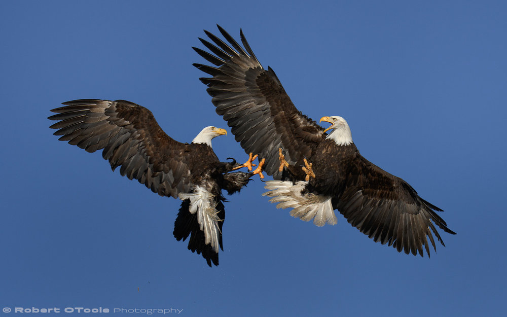 Eagles meeting up in midair with talons out. Sigma 150-600 S at 170mm, Nikon D500, 1/2000s, f/8, ISO 200, handheld.