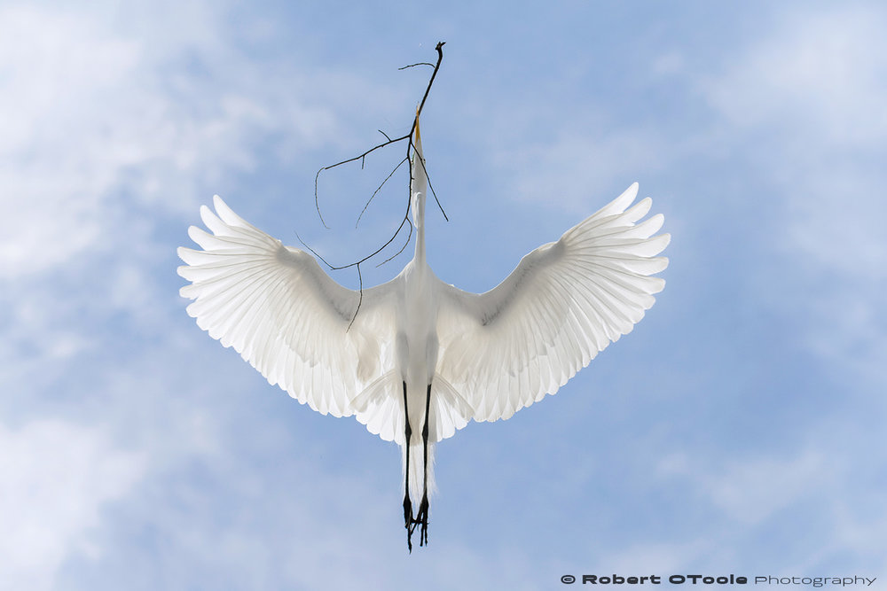Great egret super flared translucent wings Sigma 120-300 S @120mm Nikon D810 1/1250 f/5.6 ISO 400 manual mode SB800 flash