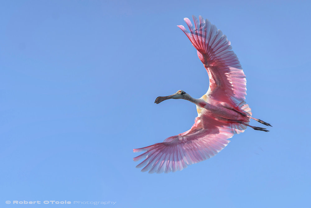 Roseate spoonbill banking in early morning light Sigma 120-300 S @120mm Nikon D500 1/1250 f/4.5 ISO 400 manual mode SB800 flash