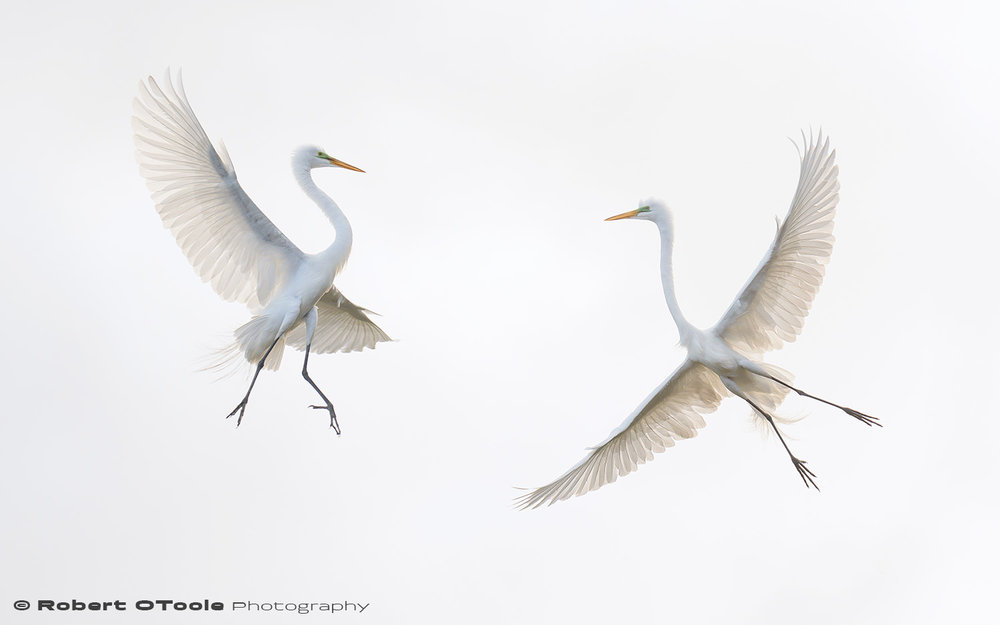 Great egret air battle Sigma 120-300 S @195mm Nikon D810 1/1600 f/4 ISO 400 manual mode SB800 flash
