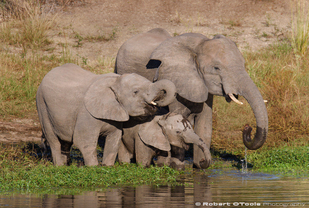 Young elephants having a water break. Nikon D810 Sigma 150-600 S @ 500mm 1/1000s f/8 ISO280 EV -1.0 manual mode handheld