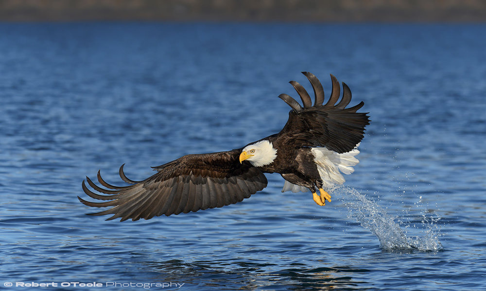 Eagle strike in perfect afternoon light. Nikon D500 with Sigma 120-300 f/2.8 lens at 195mm 1/4000th sec at f/4 ISO 200 handheld.