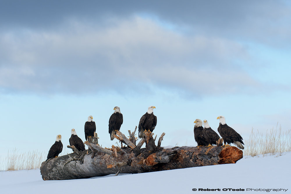 Eagles under cloudy skies. Nikon D500 with Sigma 120-300 f/2.8 lens at 135mm 1/1250th sec at f/5.6 ISO 400 handheld.