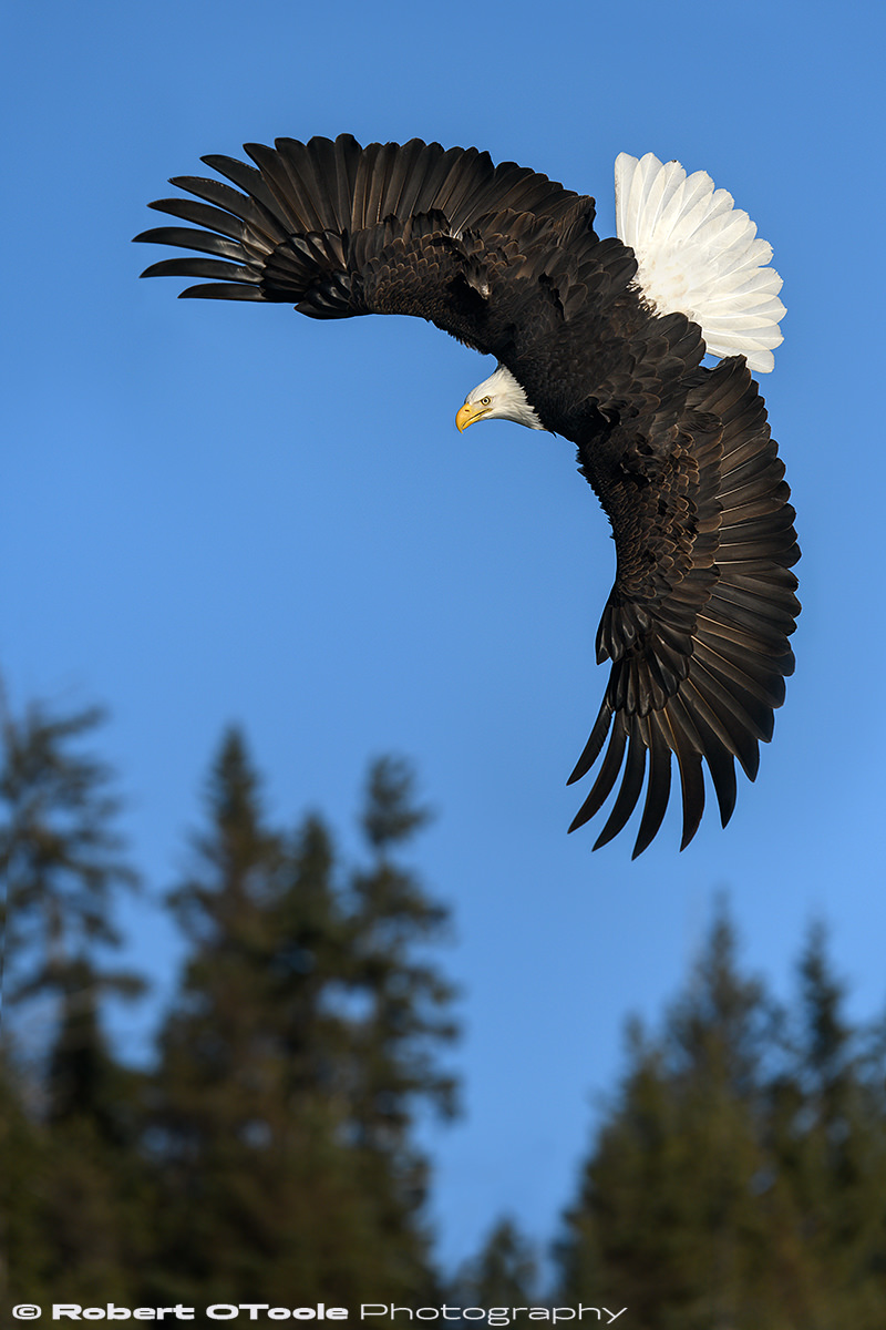 Bald eagle top bank made with the camera held vertically (shoot in vertical orientation with the battery grip). Nikon D850 with Sigma 120-300 Sports lens at 250mm 1/4000th sec at f/5.6 ISO 400 handheld and manual mode.