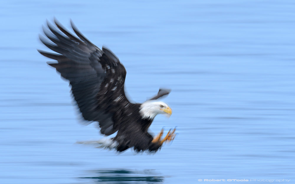 Eagle at sea level with Nikon D850 with Sigma 120-300 Sports lens @ 250mm 1/30th sec f/5.6 ISO 100 manual mode handheld