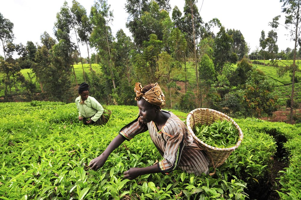 Women picking tea in Kenya, 2010.  Source: Neil Palmer, CIAT
