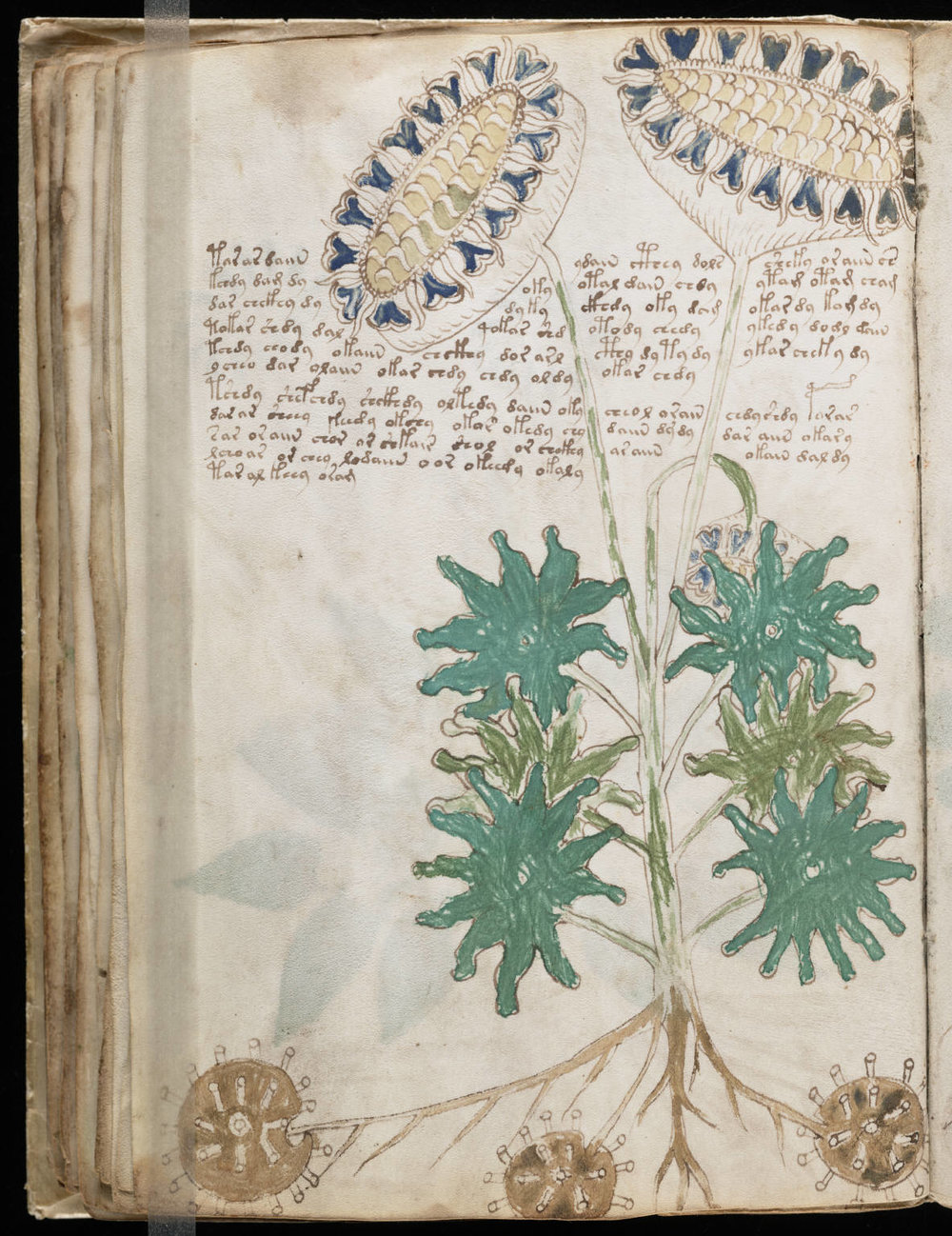 "A page from the ""herbal"" section of the Voynich Manuscript, via Wikimedia Commons"