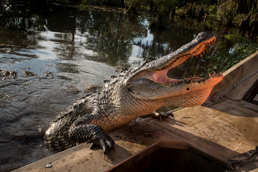 A 12-foot-long alligator climbs aboard an airboat in Des Allemands, La.