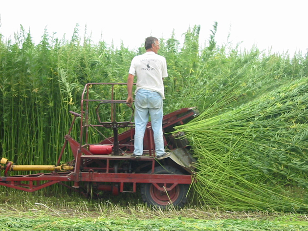 Farmer cultivating hemp stalks