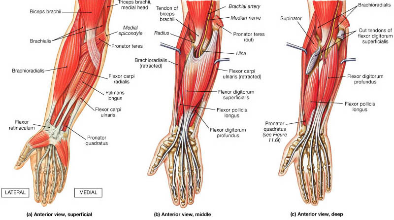 anterior-compartment-of-the-forearm.jpg