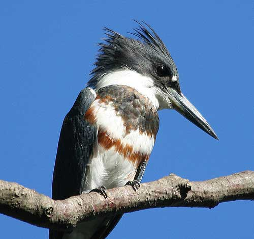 Belted Kingfisher, a Boulder County Species of Special Concern