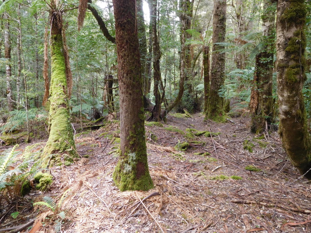 forest understorey.JPG
