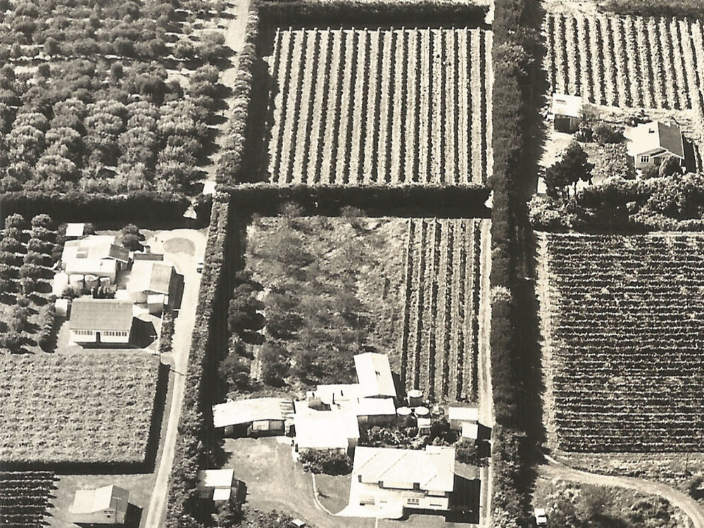 Vineyards and orchards at Mazurans 1960s
