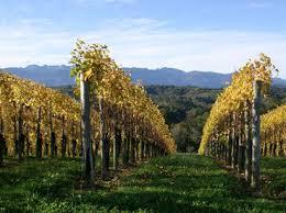 Jurancon vineyard.jpeg