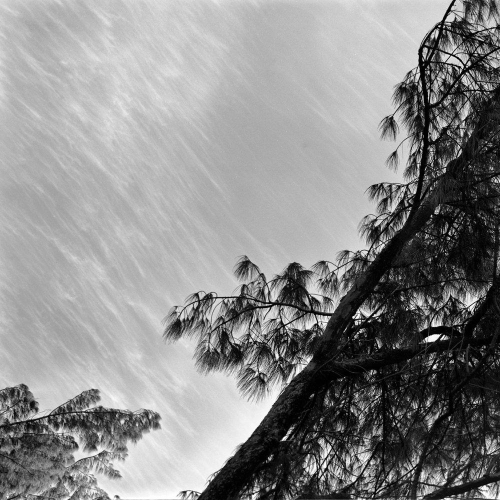 85_pinetreeFLAT.jpg