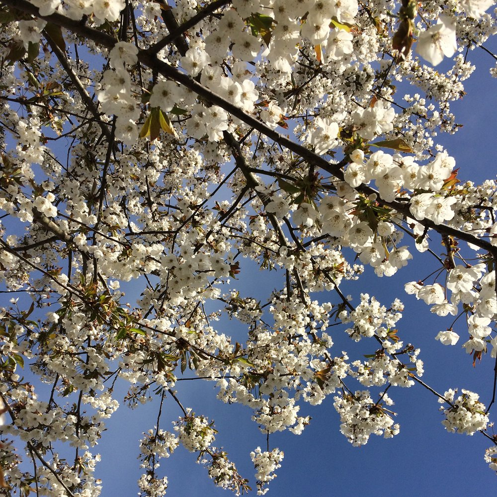 Cherry Blossom, Beltane 2016.